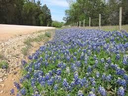 5 facts about texas bluebonnets u2013 explore texas