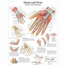 Anatomy Of The Right Arm Anatomical Charts And Posters Anatomy Charts Arm And Leg