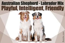 australian shepherd dogs 101 key traits that define the personality of a pit bull lab mix