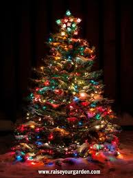 the brown christmas tree how to a christmas tree raise your garden musings on
