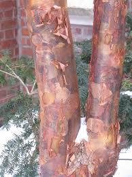 paperbark maple acer griseum plants for winter interest