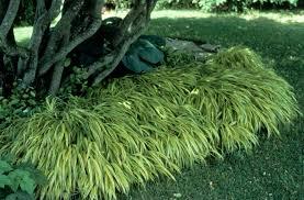 ornamental grasses black creativity of decorative grasses
