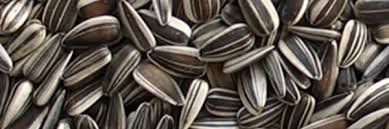 large striped sunflower seed