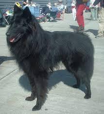 belgian sheepdog rescue adoption 527 best the belgian sheepdog images on pinterest belgian