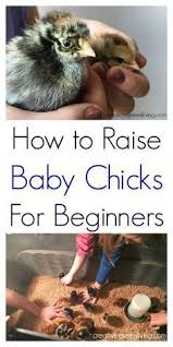 Chickens For Eggs In Backyard How To Raise Chickens For Beginners Raising Chickens Raising