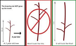 how to prune a fruit tree in canada apple and pear trees