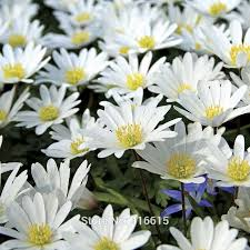 aliexpress com buy 100 anemone blanda white splendour seeds