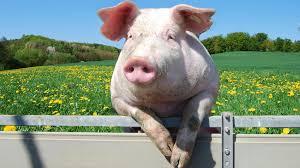 pig fence ngsversion 1396530611778 adapt 1900 1 jpg