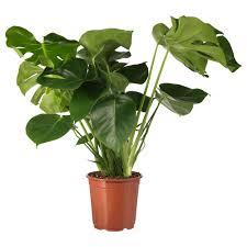 Ikea Schlafzimmer Impressionen Pflanzen U0026 Orchideen Günstig Online Kaufen Ikea
