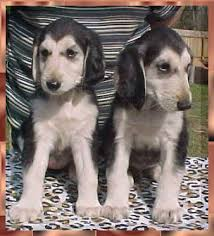 afghan hound and labrador retriever aaawww mahadi afghan hound breeder puppies dogs for sale austin
