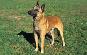 belgian sheepdog guard dog belgian malinois breed information
