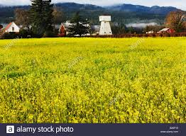 napa valley ground mustard flowers in field napa valley california america stock