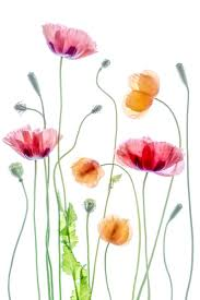 25 poppies ideas poppy watercolor poppies