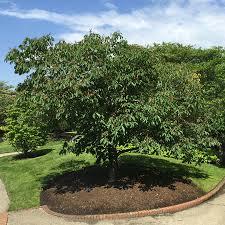 buckeye tree fast growing trees