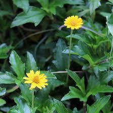 ten wild flowers in our backyard arathimy