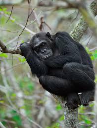 chimpanzees make beds that offer them best night u0027s sleep