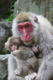 best 25 japanese macaque ideas on pinterest monkeys monkeys
