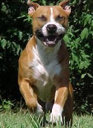 american pitbull terrier gator american pitbull terrier