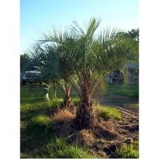 sylvester palm tree sale pindo palm trees