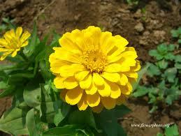 Zinnia Flower Yellow Zinnia Flower Photos