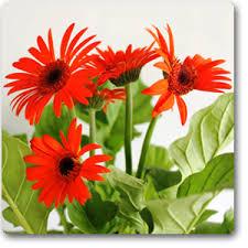 gerbera plant buy gerbera orange plant online at nursery live best plants