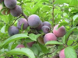What Fruit Trees Grow In Texas - berries