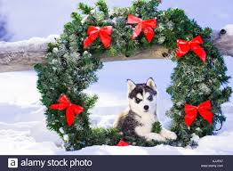 Holiday Wreath Pair Of Siberian Husky Puppies In Holiday Wreath Outside In Snow