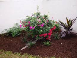 hedging plants budget wholesale nursery bongard landscaping landscaping and nursery in jupiter fl