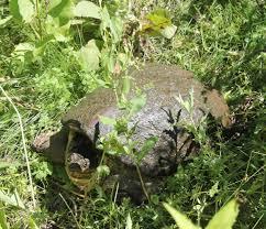 minnesota zoo common snapping turtle minnesota zoo