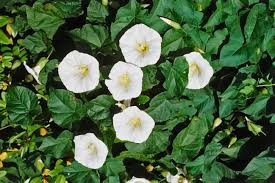 Fragrant Bedding Plants - fragrant night bloom flowers best flowers that only bloom at night