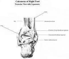 Posterior Inferior Tibiofibular Ligament Tibiofibular Syndesmosis And Ossification Case Report Sequelae