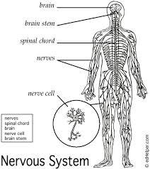 anatomy brain and nervous system diagram anatomy diagram pics