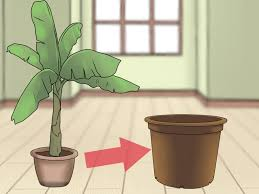 Large Planters For Trees by How To Grow Banana Trees In Containers 13 Steps With Pictures