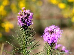 kansas native plants gardening with greggo annual wildflower weekend day one