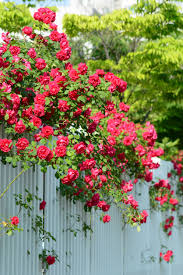 Fragrant Climbing Plants Choosing Climbing Roses For Zone 9 U2013 What Are Popular Zone 9