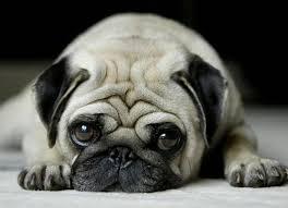 Sad Pug Meme - 45 naughty pug dog collection golfian com
