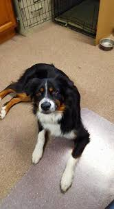 australian shepherd in california dogs for adoption australian shepherd in littleton colorado