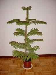 the norfolk island pine a living tree dave s garden