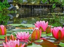Lotus Flower In Muddy Water - lotus flower the hare krishna movement