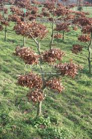 fagus sylvatica fagus sylvatica mini bonsai beech mini bonsai buk gardenbonsai