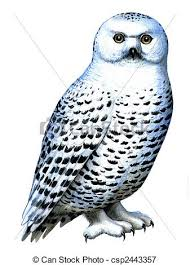 stock illustrations of bird snowy owl colored drawing on the