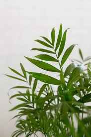 piquant ferns along with ivy asparagus foxtail fear densiflorus is