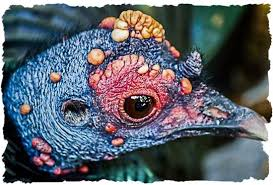 the ocellated turkey not your average thanksgiving turkey