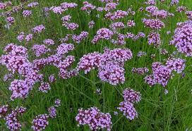 verbena flower verbena bonariensis plant how to grow purpletop vervain