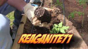 Best Soil For Vegetable Garden In Raised Bed by How I Plant A Tomato In My Raised Bed Vegetable Garden Youtube