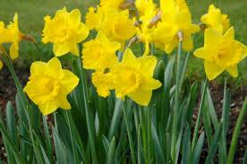 flowers uk national flowers of the uk