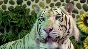 up of white tiger stock image image of just