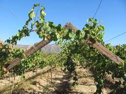 free images tree nature grape vineyard wine fruit food