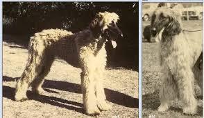 afghan hound national 2014 afghan hound times shelia devitt gilleney the great carloway