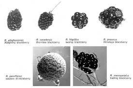 ornamental bramble 211378 common name rubus